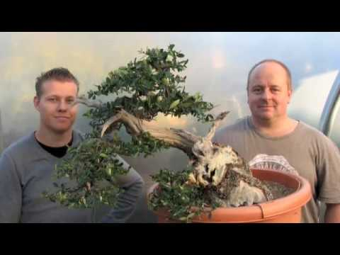 Copy of Creating Bonsai from an Olive Tree Stump