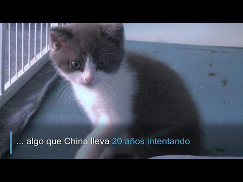 Ajo, el primer gato clonado por China | AFP