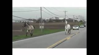 Runaway Horses in New Lenox