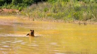 German Shepherd - Chow Mix Swimming