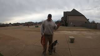 Siberian Husky Basic Obedience training.   Obedience Training for dogs.