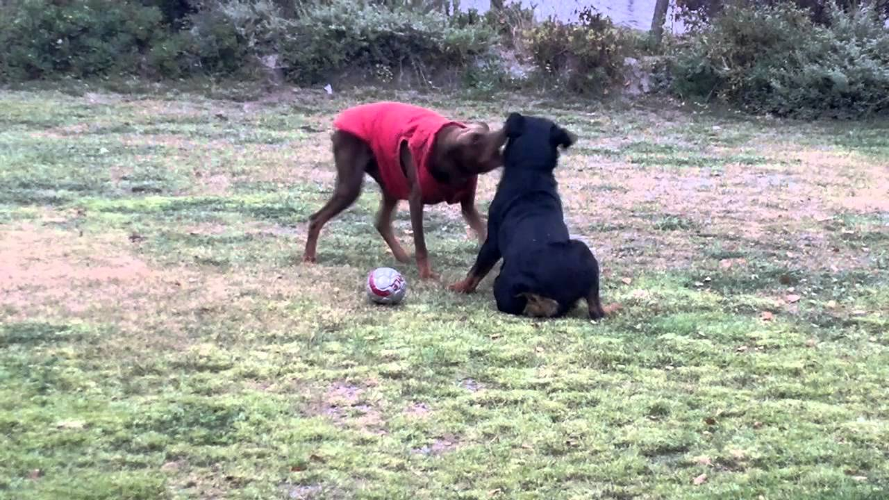Rottweiler and doberman playing together - YouTube