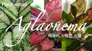 키우기 쉬운 식물 아글라오네마(스노우사파이어, 지리홍,…
