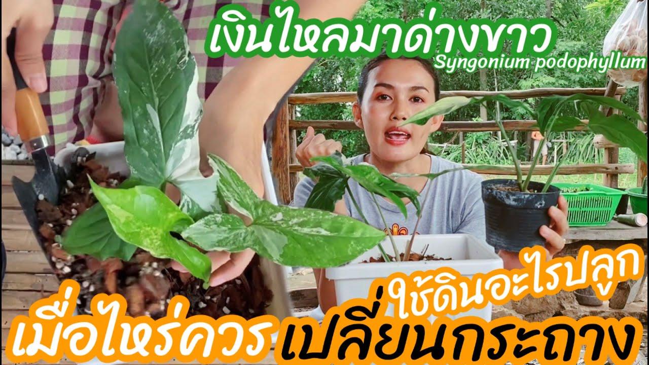 เปลี่ยนกระถางเงินไหลมาด่างขาวตอนไหนดี ต้นไม้ที่คนไทยเข้าใจผิด ใช้ดินอะไร Syngonium podophyllum
