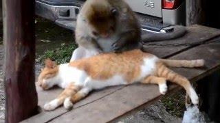 Обезьяна ловит блох у кота