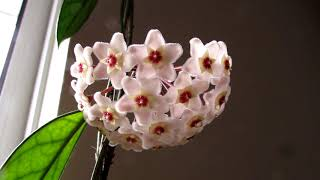 Our Hoya carnosa Houseplant with a bundle of beautiful Blooms - UPDATE