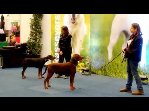 Dobermann VDH RasseVorstellung Dortmund 15.10.2016 mit Jutta Levic Dog exhibition Hunde Präsentation