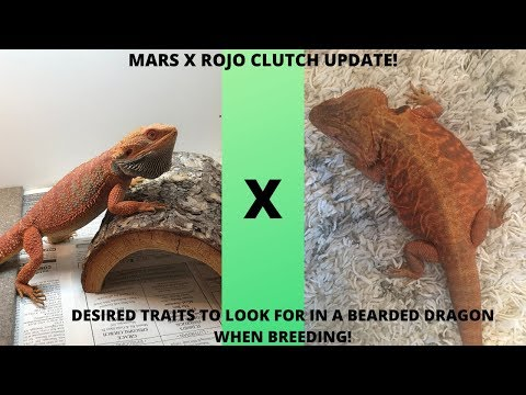 What Traits Do I Look For When Breeding Bearded Dragons???