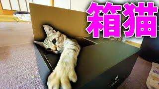 箱遊びを覚えた保護猫みーちゃん