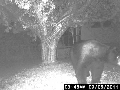 Black bear 500 pounds Night shot Game camera from Walmart - YouTube