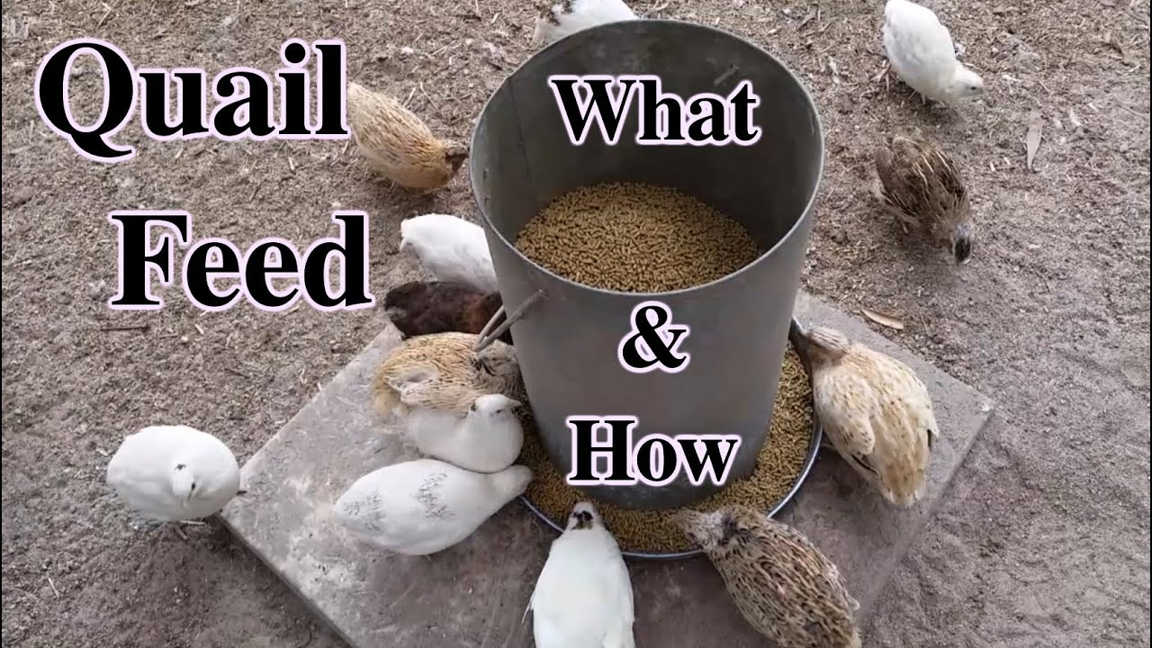 what u0026 how i feed coturnix japanese quail youtube