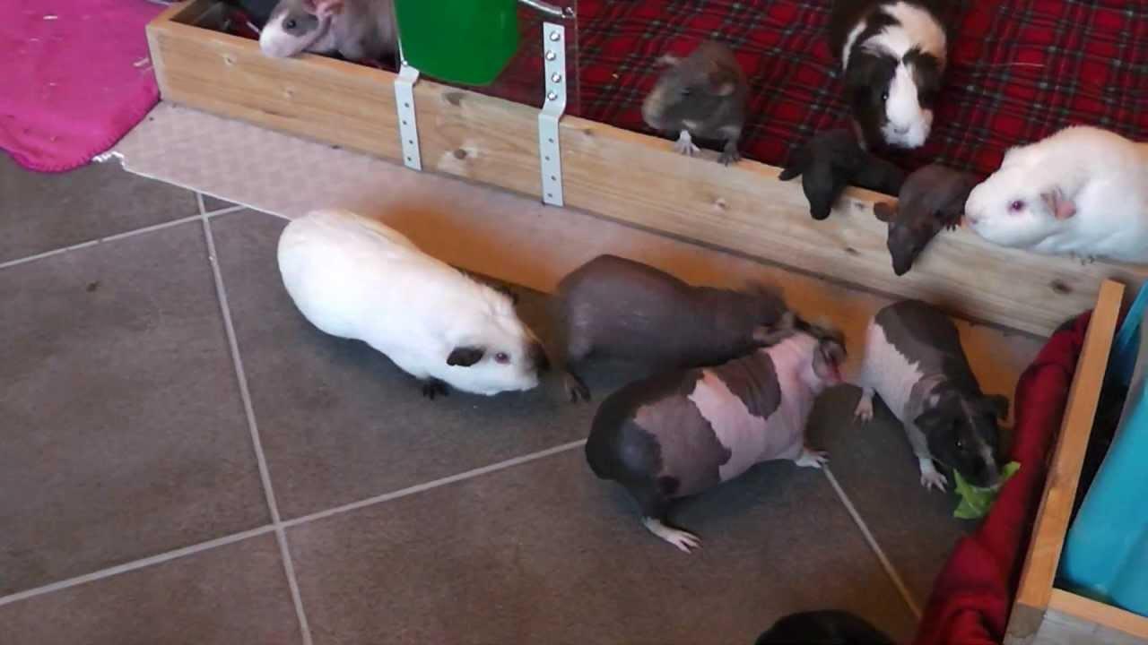 how to get your guinea pig to swim
