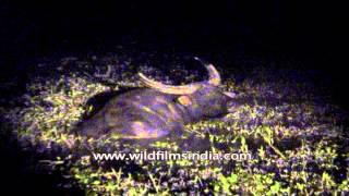 Night shot of wild water buffalo at Kaziranga National Park
