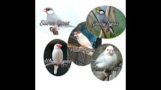 Java sparrow ,Types,food,nesting,chicks