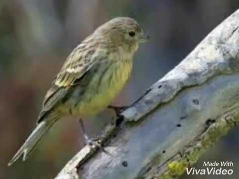 Kicauan Burung Kenari Border Wee Gem Youtube