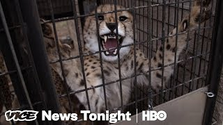 We Played Matchmaker For Cheetahs Stuck In A Dry Spell(HBO)