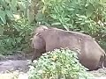 Valparai Elephant