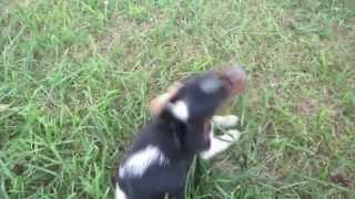 I'm Getting A Cute Beagle Puppy!