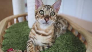 Bengal Cat Sema / Бенгальский кот Сёма