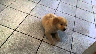 Golden Retriever Puppy 2 Months Doing Tricks