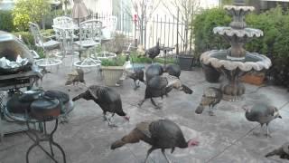 Turkeys on our patio, Trilogy Rio Vista, Solano County, CA