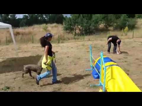 agility perros de aguas