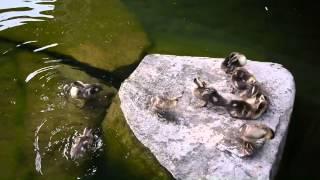 2014年目白庭園の子鴨たち。