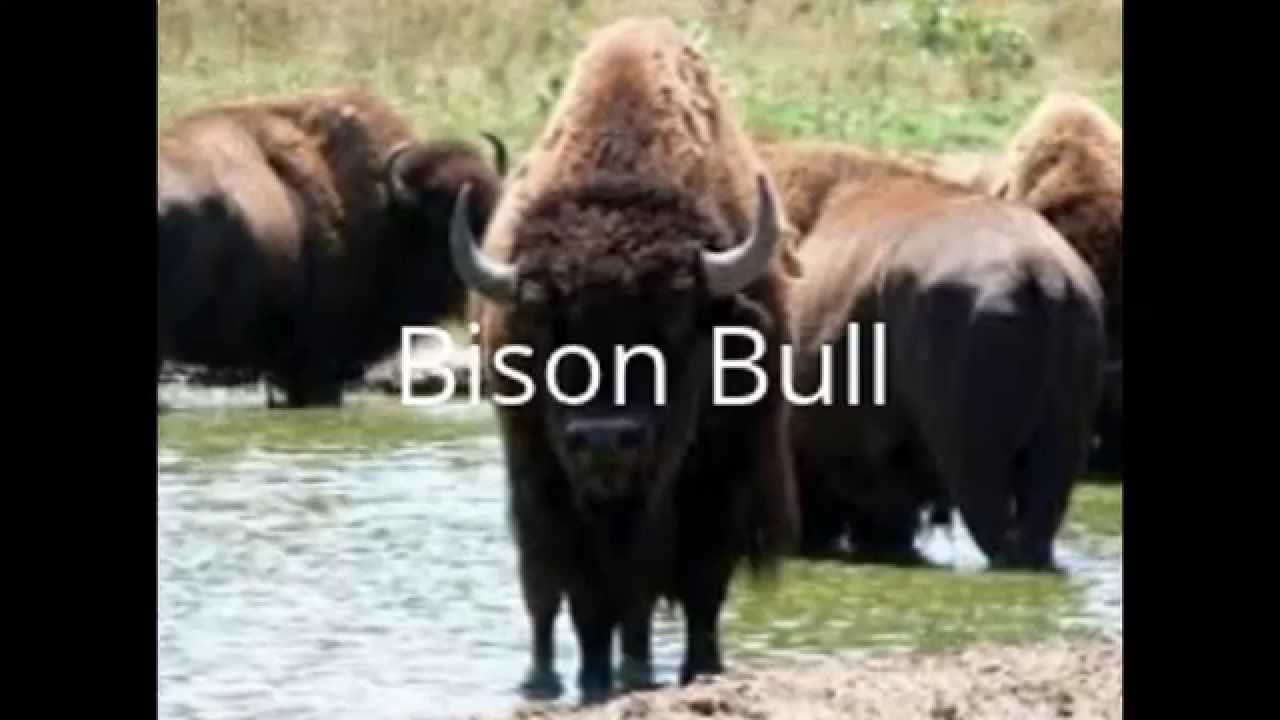 bison vs african buffalo