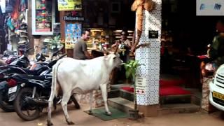 Корова в кафе. Арамболь. Прикол. The cow in the cafe. Arambol. joke