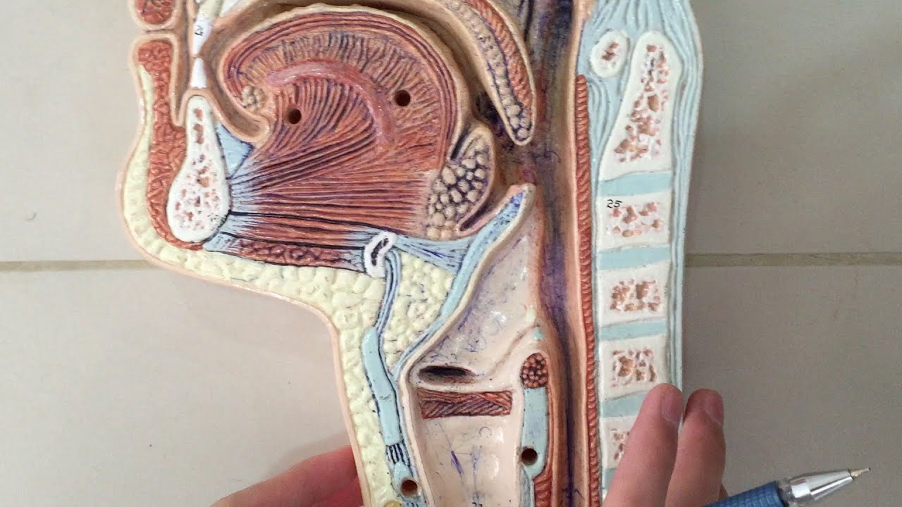 Anatomy of the Pharynx - YouTube