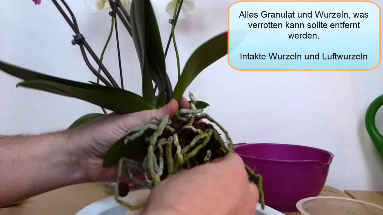 orchideen umtopfen youtube