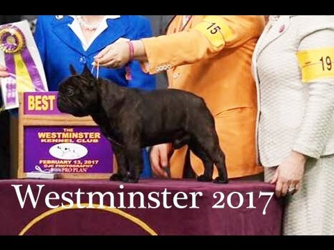 Westminster Dog Show 2017 | French Bulldog | Behind The Scenes