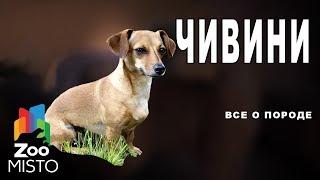 ЧИВИНИ - Все о породе собаки | Собака породы ЧИВИНИ