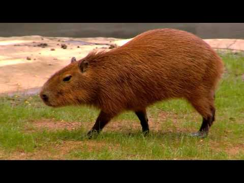 Capybara World