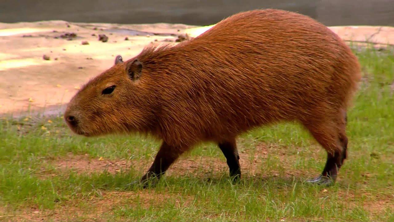 Capybara World's Largest Rodent - Cincinnati Zoo - YouTube
