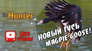 Обзор нового животного в theHunter Classic   MAGPIE GOOSE
