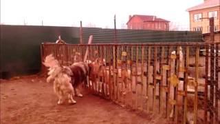 """собаки Питомника """"Дон-Ратибор"""""""
