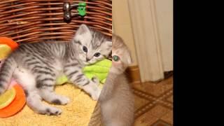 """Британские и Шотландские кошки """"Natalie's Best"""""""