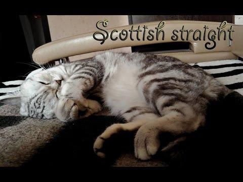 Британская короткошерстная кошка фото, цена, окрасы