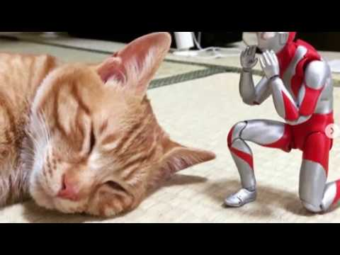 Meet Two Best Friends – A Kitten And His Ultraman Toy..