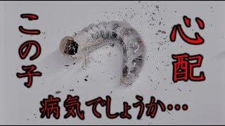 カブトムシ+クワガタ 病気?幼虫の身体がやけに透けて見えるのですが…...