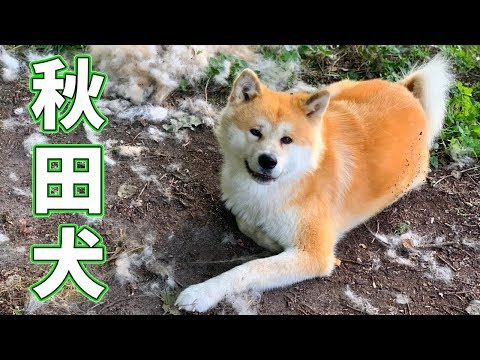 AKITA INU - How I Brush My Japanese Akita Dog | Grooming Routine | 秋田犬