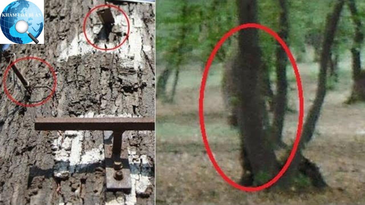 Quan niệm 'quỷ cây đa ma cây gạo' và tục đóng đinh vào thân cây của người xưa có tác dụng