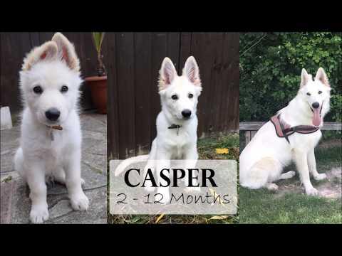 Casper | 2 - 12 Months | White German Shepherd