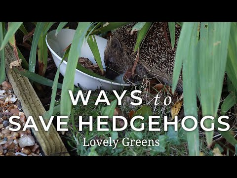 Tips for Attracting & Saving Hedgehogs