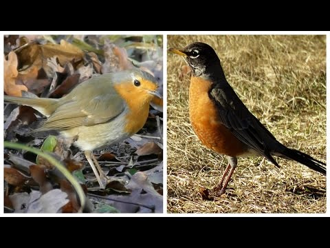 American Robin and European Robin- 2 singing at the end
