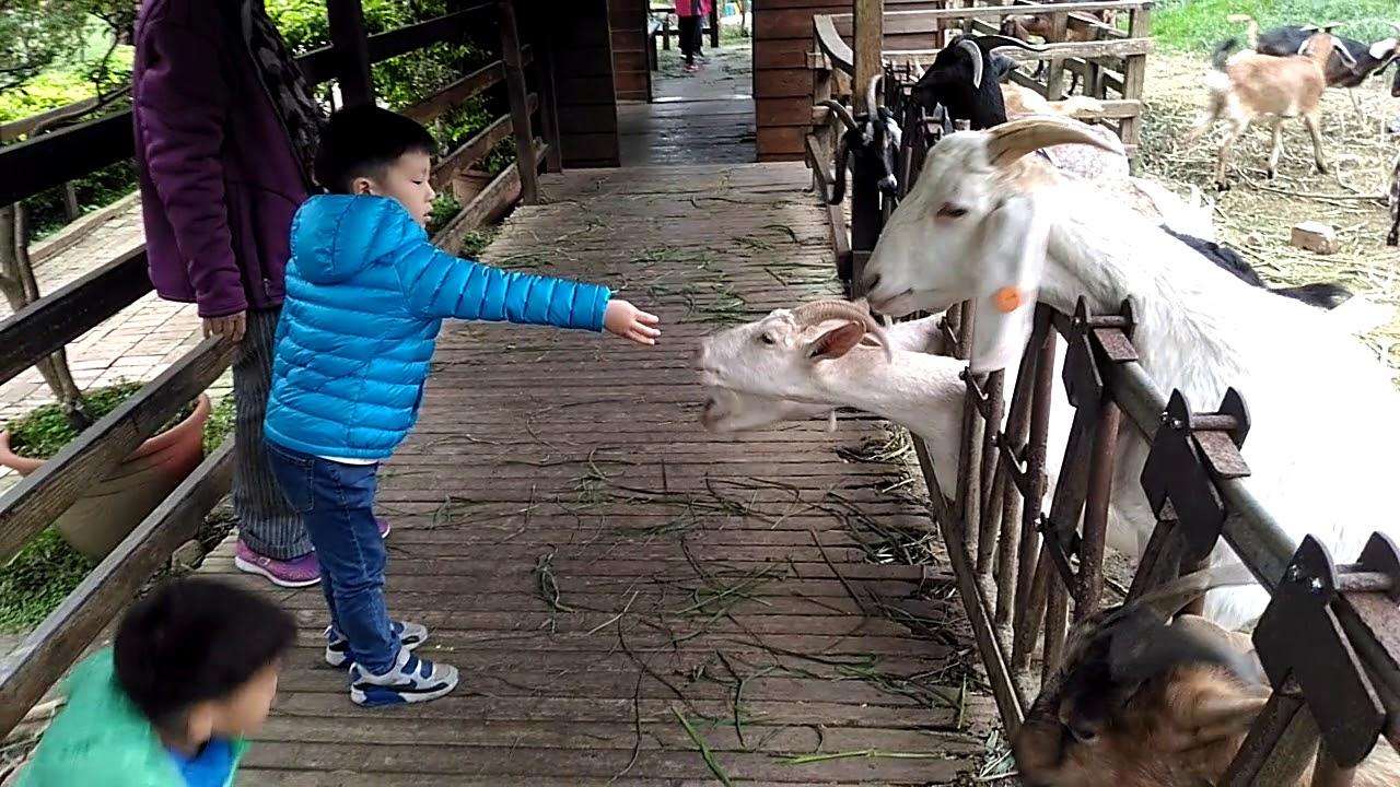 中壢 羊世界牧場 羊世界教學牧場 餵羊咩咩及小動物 威齊和禹翔 20190316 1251 207 - YouTube