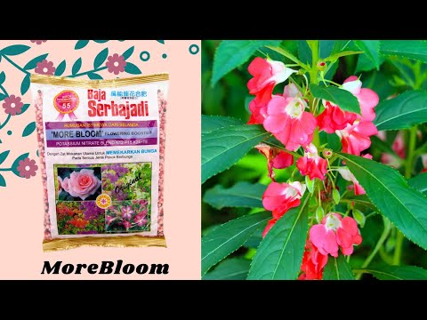How to bloom balsam plant? A good flowering fertilizer suitable for every flowering plant !!