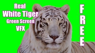 White Tiger (Real!) 4k Green Screen
