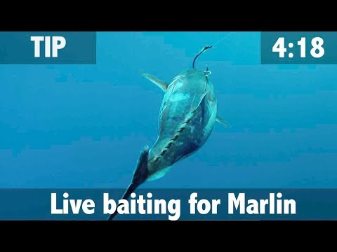 Live Baiting For Marlin
